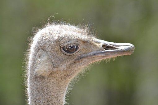 Ostrich, Bird, Zoo