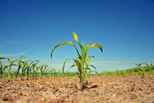 Plant, Scion, Field, Agriculture, Agricultural, Nature