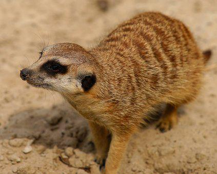 Meerkat, Curious, Attention, Vigilant, Mammal, Animal
