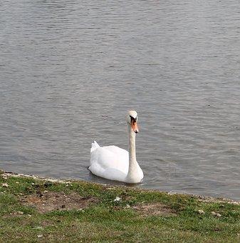 Swan, Elegance, Elegant, Lake, Swim, Beautiful