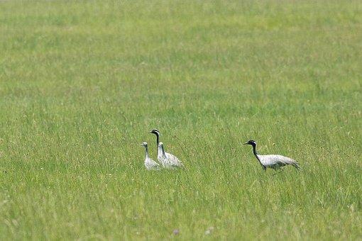 Bird, Demoiselle Crane, Parent Child, Meadow