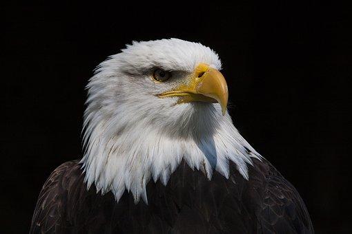 Bird, Adler, Raptor, Bird Of Prey, Bald Eagle