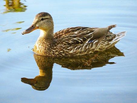 Duck, Waterfowl, Bird, Reflection, Water, Nature