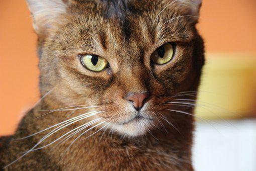 Cat, Breed Cat, Abyssinian, Close, Fur, Green Eyes