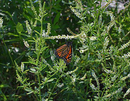 Monarch Butterfly On Sweet Clover, Butterfly, Insect