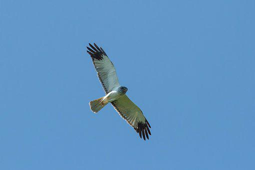 Birds Of Prey, Chu Human, Flight, Dollars Non Plains