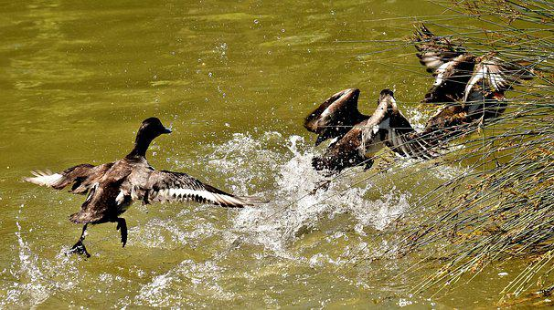 Tufted Duck, Ducks, Play, Action, Cute, Funny