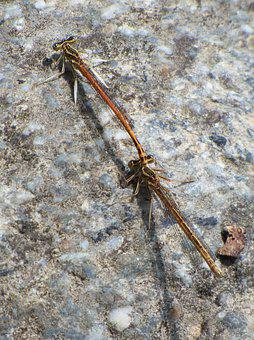 Platycnemis Latipes, Dragonfly, Damselfly, Rock