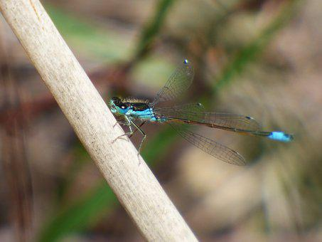 Dragonfly, Dragonfly Blue And Black, Damselfly