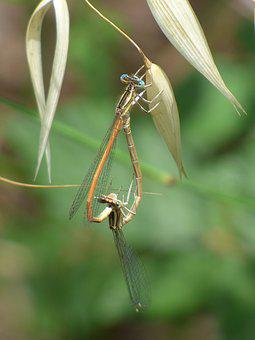 Platycnemis Latipes, Dragonfly, Damselfly