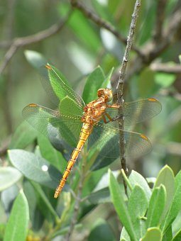 Dragonfly, Winged Insect, Yellow Dragonfly, Branch