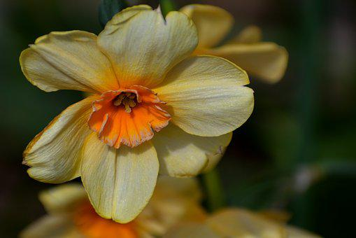 Spring, Yellow, Daffodil, Floral, Narcissus, Nature