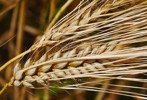 Ear, Cereals, Grain, Grains, Awns, Barley, Close