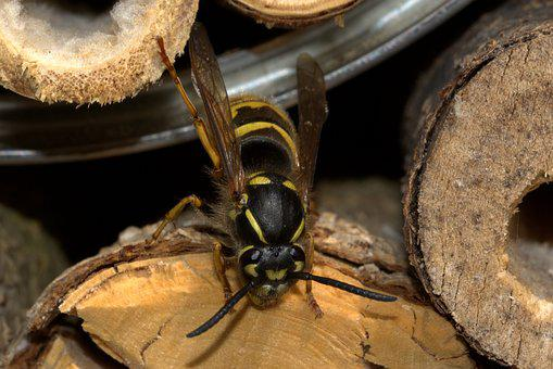 Wasp, Insect House, Vespinae, Insect, Yellow Black