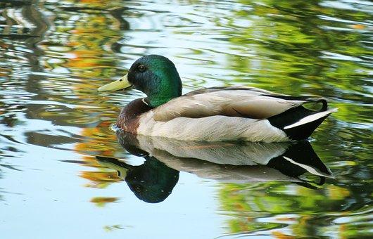 Duck, Mallard, Bird, Water, Reflection, Wildlife