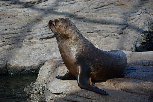 Seal, Seal Navy, Sea, Ocean, Aquatic Mammals, Marine