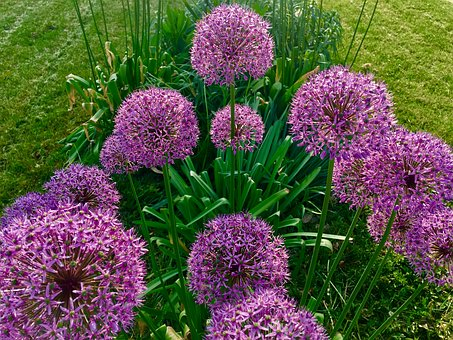 Allium, Flower, Purple, Plant, Nature, Bloom, Blossom