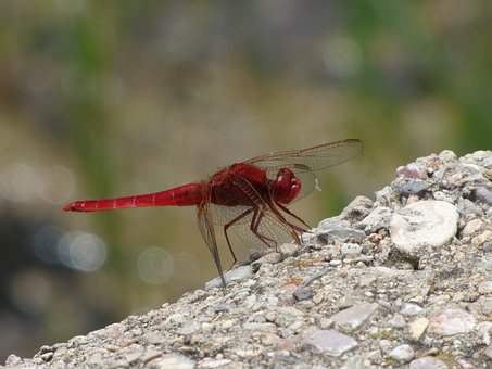 Red Dragonfly, Wetland, Raft, Dragonfly, Winged Insect