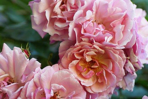 Rose, Pink, Summer, Rosebush, Rose Flower, Garden