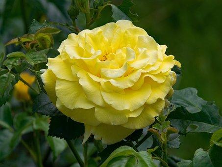 Rose, Light Queen Lucia, Shrub Rose, Flowers, Yellow