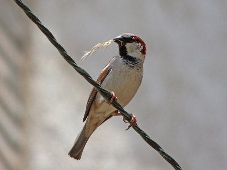 Sparrow, Pardal, Twig, Harvest, Food, Cable