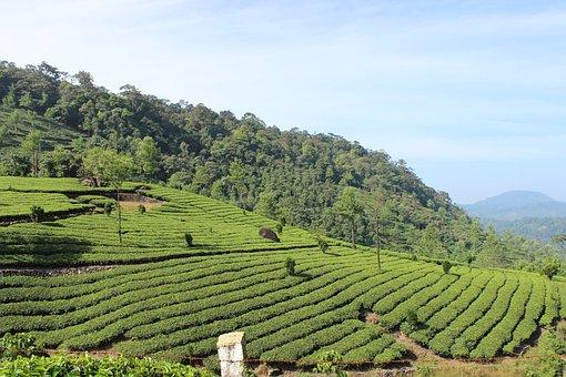 Tea, Plantation, Munnar, Kerala, Tourism, Asia, Green