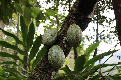 Tree, Fruit, Coca, Chocolate, Nature, Plant, Food