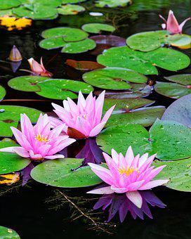 Water Lily, Water, Green, Pink, Pond, Nuphar