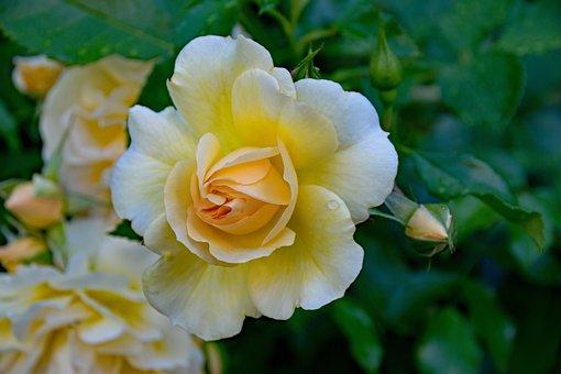 Rose, Romantica, Floribunda, Flowers, Yellow, White