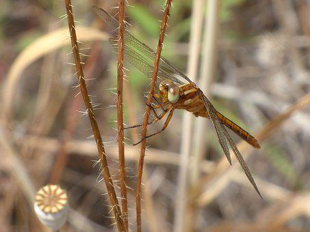 Dragonfly, Winged Insect, Yellow Dragonfly
