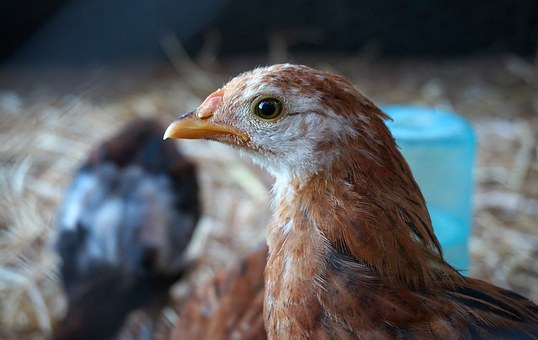 Rescued, Chicken, Beauty, Eye, Animal, Saved, New Home