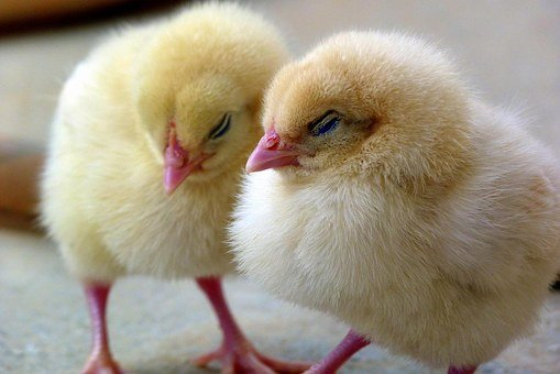 Chicks, Chick, Chicken, Bird, Baby, Young, Cute, Yellow