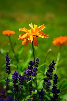 Marigold, Flowers, Orange, Calendula Officinalis