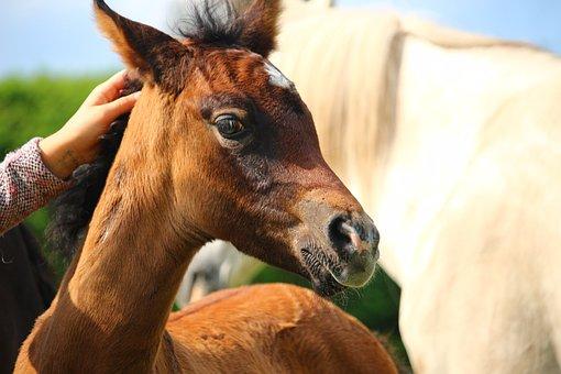 Horse, Foal, Thoroughbred Arabian, Crawl, Brown Mold