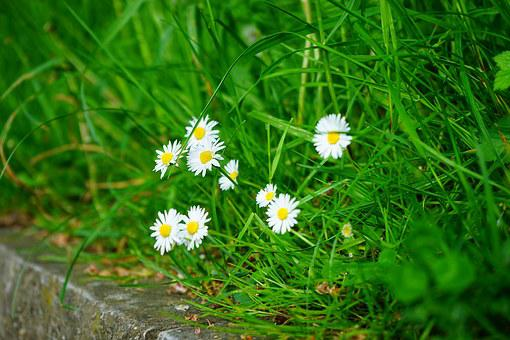Daisy, Flower, Blossom, Bloom, White, Bellis Philosophy