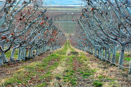 Orchard, Farm, Tree, Fruit, Blue, Sky, Summer, Produce
