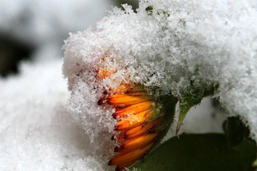 Marigold, Calendula Officinalis, Flower Garden