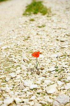 Poppy, Flower, Blossom, Bloom, Individually, Alone