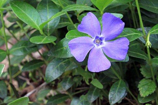Periwinkle, Vinca, Blue, Purple, Lilac, Foliage, Purity