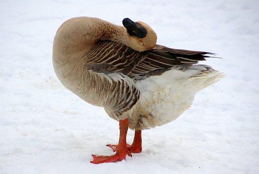 Goose, Höcker Goose, Spring, Plumage, Animal, Poultry