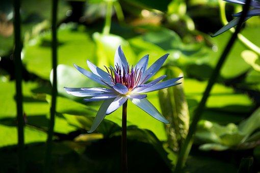 Flower, Zen, Tranquil, Lotus, Lotus Flower, Massage Spa