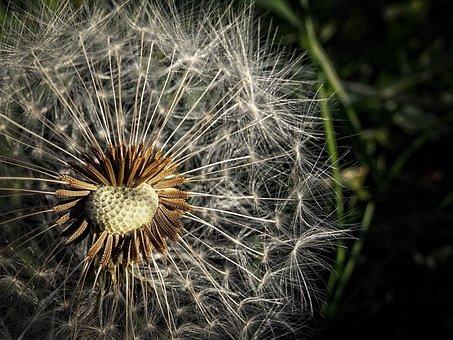 Dandelion, Meadow, Macro, Fluff, Parachute