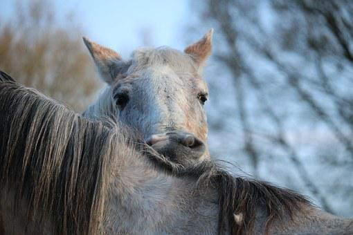 Horse, Mold, Crawl, Thoroughbred Arabian, White Horse