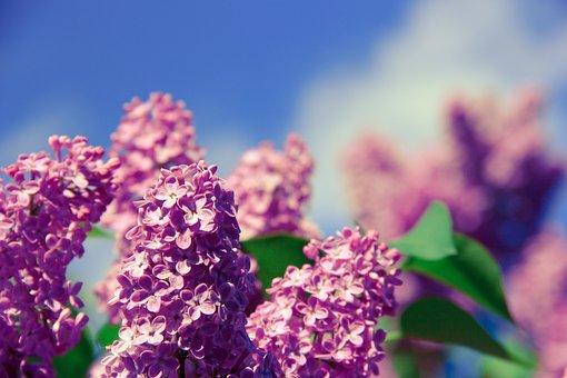 Flower, Aroma, Smell, Nature, Spring, Health, Fresh