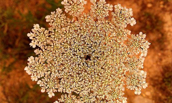 Yarrow, Milfoil, Bloodwort, Flower, Plant, Healthy