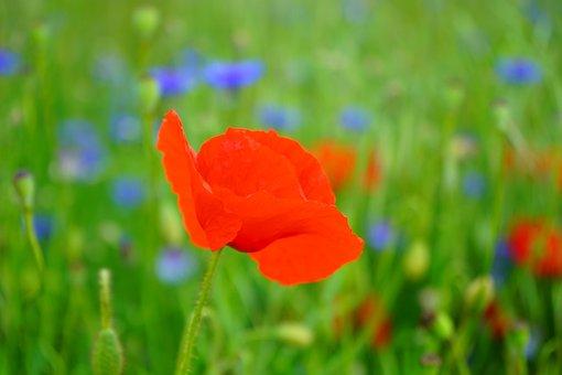 Klatschmohn, Poppy Flower, Poppy, Red Poppy, Red