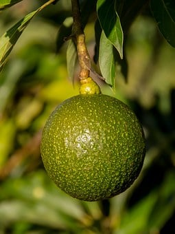 Reed Avocado, Round, Avocado, Reed, Health, Fruit