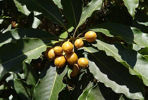 Berry, Spanish Cherry, Medlar, Bullet Wood
