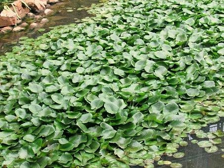 Water Hyacinth, Pond, Garden, Plant, Aquatic
