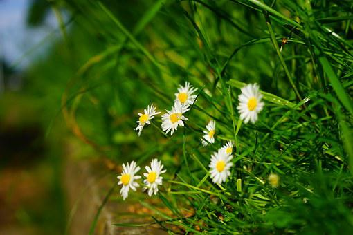 Daisy, White, Bellis Philosophy, Multiannual Daisy